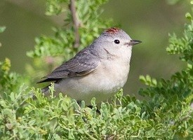 Lucy's Warbler Photo