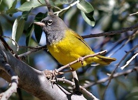 MacGillivray's Warbler Photo