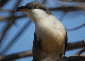 Mangrove Cuckoo Photo