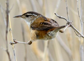 Marsh Wren Photo