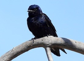 Purple Martin Photo