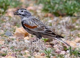 McCowns Longspur Photo
