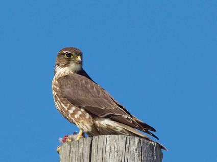 Peregrine Falcon | Audubon Field Guide