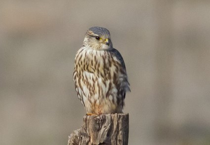 Adult male (Prairie)