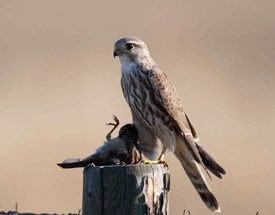 Merlin Falcon | Dave DeWitt