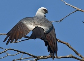 Mississippi Kite Photo