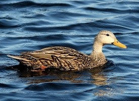 Mottled Duck Photo