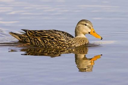 Mallard, Identification, All About Birds - Cornell Lab of ...