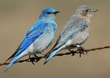 Image result for female mountain bluebird