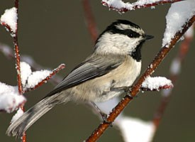 Mountain Chickadee Photo