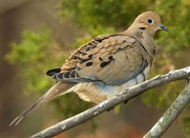 Mourning Dove, Identification, All About Birds - Cornell Lab of ...