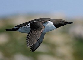 Common Murre Photo