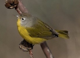 Nashville Warbler Photo