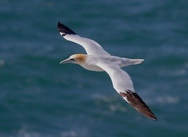 Northern Gannet Photo