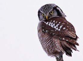 Northern Hawk Owl Photo