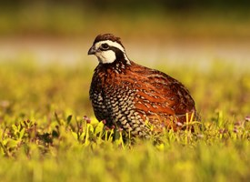 Northern Bobwhite Photo
