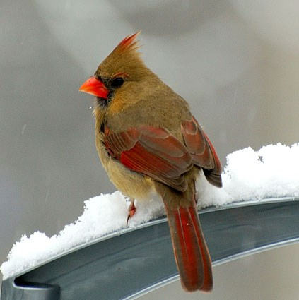 http://www.allaboutbirds.org/guide/PHOTO/LARGE/northern_cardinal_2.jpg