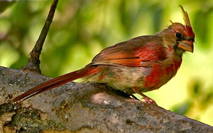 Northern Cardinal Identification All About Birds  Cornell Lab