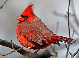 Northern Cardinal Life History All About Birds  Cornell Lab of