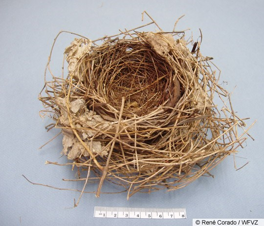 Northern Cardinal Nest Image 1