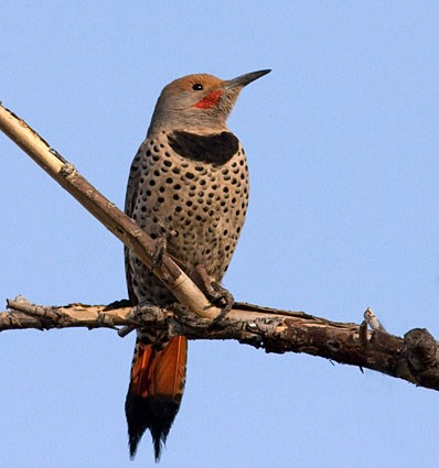 Northern Flicker. Adult male Red-shafted