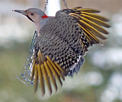 Northern Flicker. Adult male Yellow-shafted