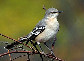 http://www.allaboutbirds.org/guide/Northern_Mockingbird/id