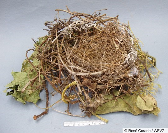Northern Mockingbird Nest Image 1