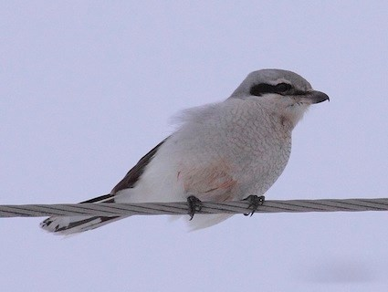 Shrike  Wikipedia