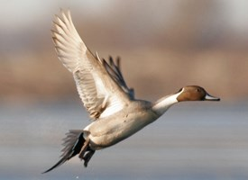 Northern Pintail Photo