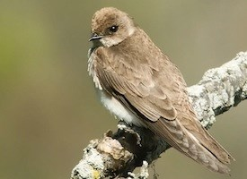 Northern Rough-winged Swallow Photo