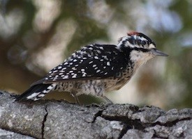 Nuttalls Woodpecker Photo
