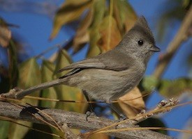 Oak Titmouse Photo