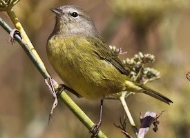 Orange-crowned Warbler Photo