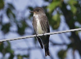 Olive-sided Flycatcher Photo