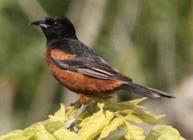 Orchard Oriole Photo