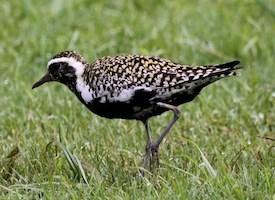 Pacific Golden-Plover Photo