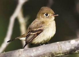 Pacific-slope Flycatcher Photo