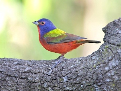 painted_bunting_cleber2.jpg