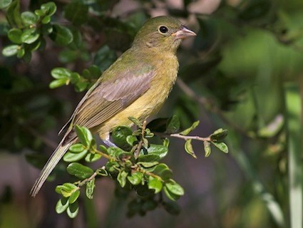 Juvenile painted bunting - photo#13