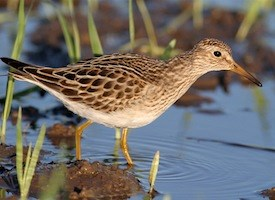 Pectoral Sandpiper Photo