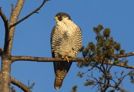 Peregrine Falcon Photo