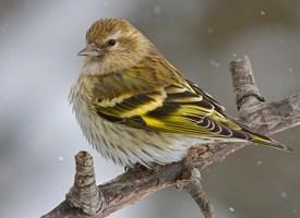 http://www.allaboutbirds.org/guide/Pine_Siskin/id