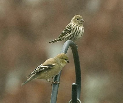 Adult with American Goldfinch