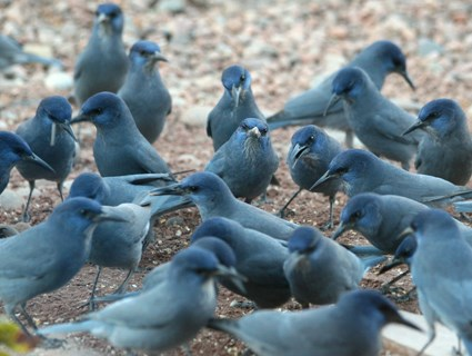 Flock at feeder