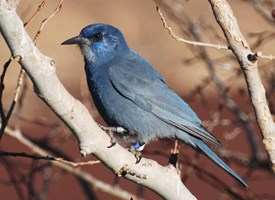 Pinyon Jay Photo