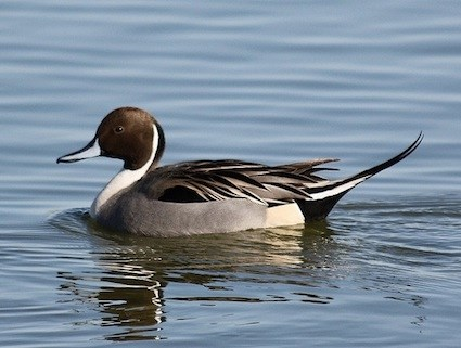 Image result for pintail