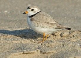 Piping Plover Photo