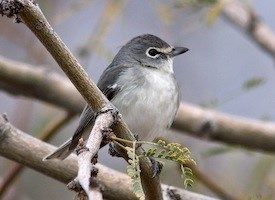Plumbeous Vireo Photo