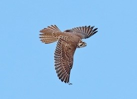 Prairie Falcon Photo